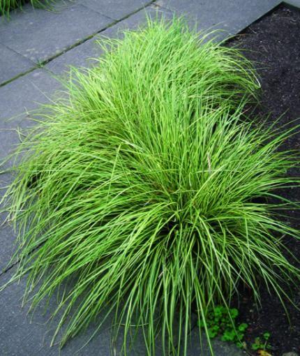 carex gramin es vivaces jardin de repos tuin grassen et tuinplanten. Black Bedroom Furniture Sets. Home Design Ideas