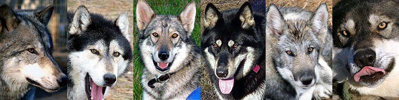 Howling Woods Farm Wolf Wolfdog Rescue 3 Animal Rescue Wolf Dog Animals
