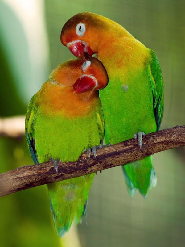 Lovebirds Beautiful Small Parrots That Are Native To Africa And The Island Of Madagascar Lovebirds Are Very Active And Have High Octan Animal Love Pinte
