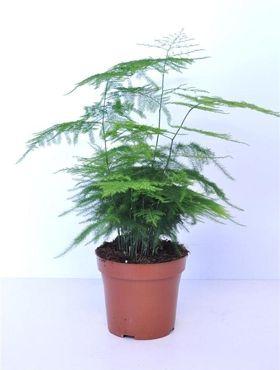 Asparagus plumosus   Jardinage en pots, Jardinage, Plante verte