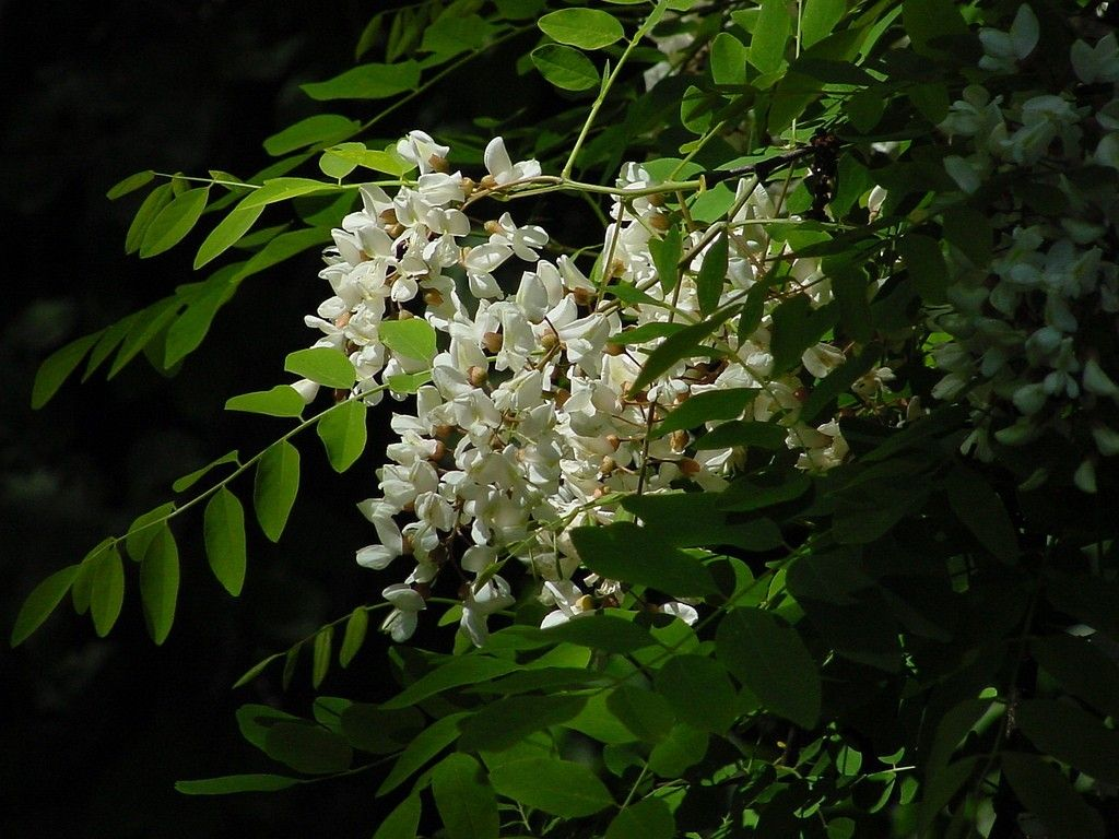 Free Plant Identification Honey Locust Honey Locust Tree