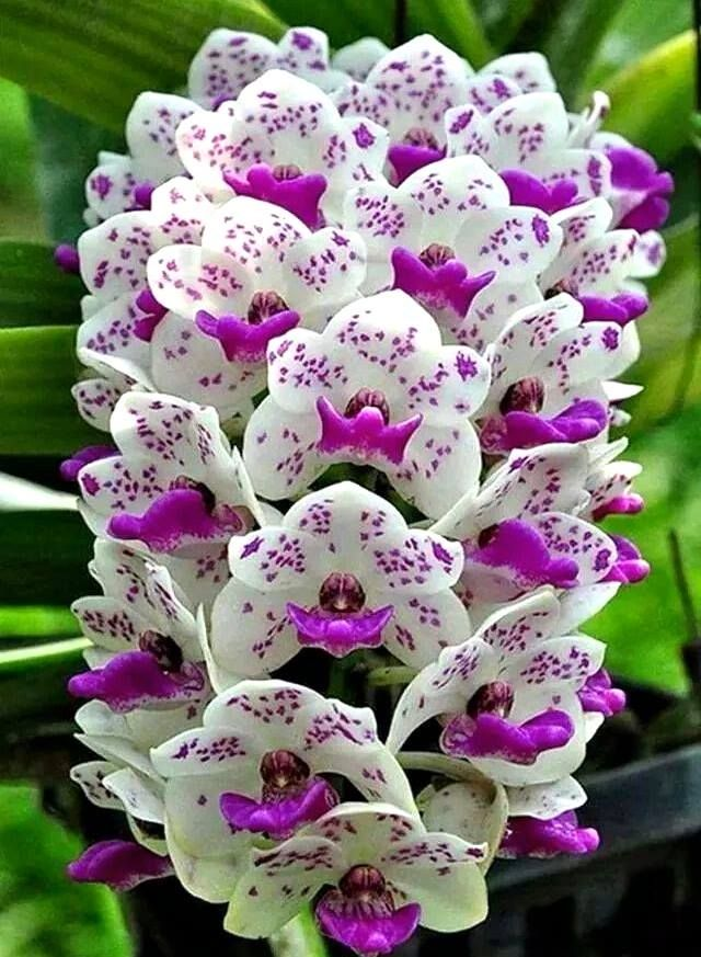 Purple And White Orchids With Images Flower Seeds Beautiful Orchids Orchid Flower