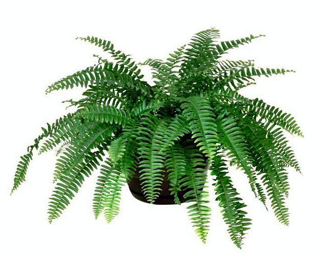 Paprocie Domowe Nefrolepis Wyniosly N Exaltata Nevada Ma Gleboki Odcien Zieleni I Nie Zageszcza Sie Za Mocno A Przy T Cactus Plants Plant Leaves Plants