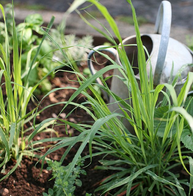 ♥ amazing tips for growing lemon grass