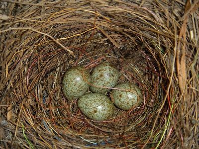 magpie eggs