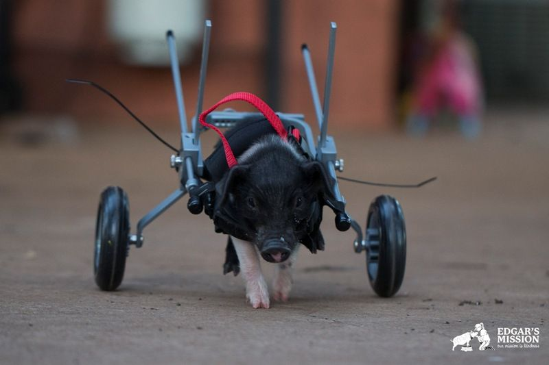 Destined to Be Slaughtered, This Disabled Piglet Will Now Lead a Beautiful Life (PHOTOS)