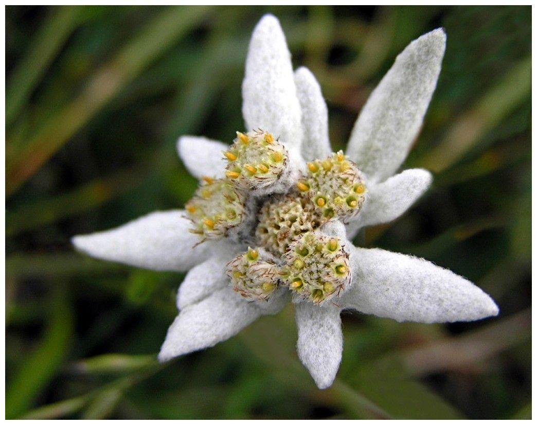 A swiss flower flower flowers switzerland Edelweiss