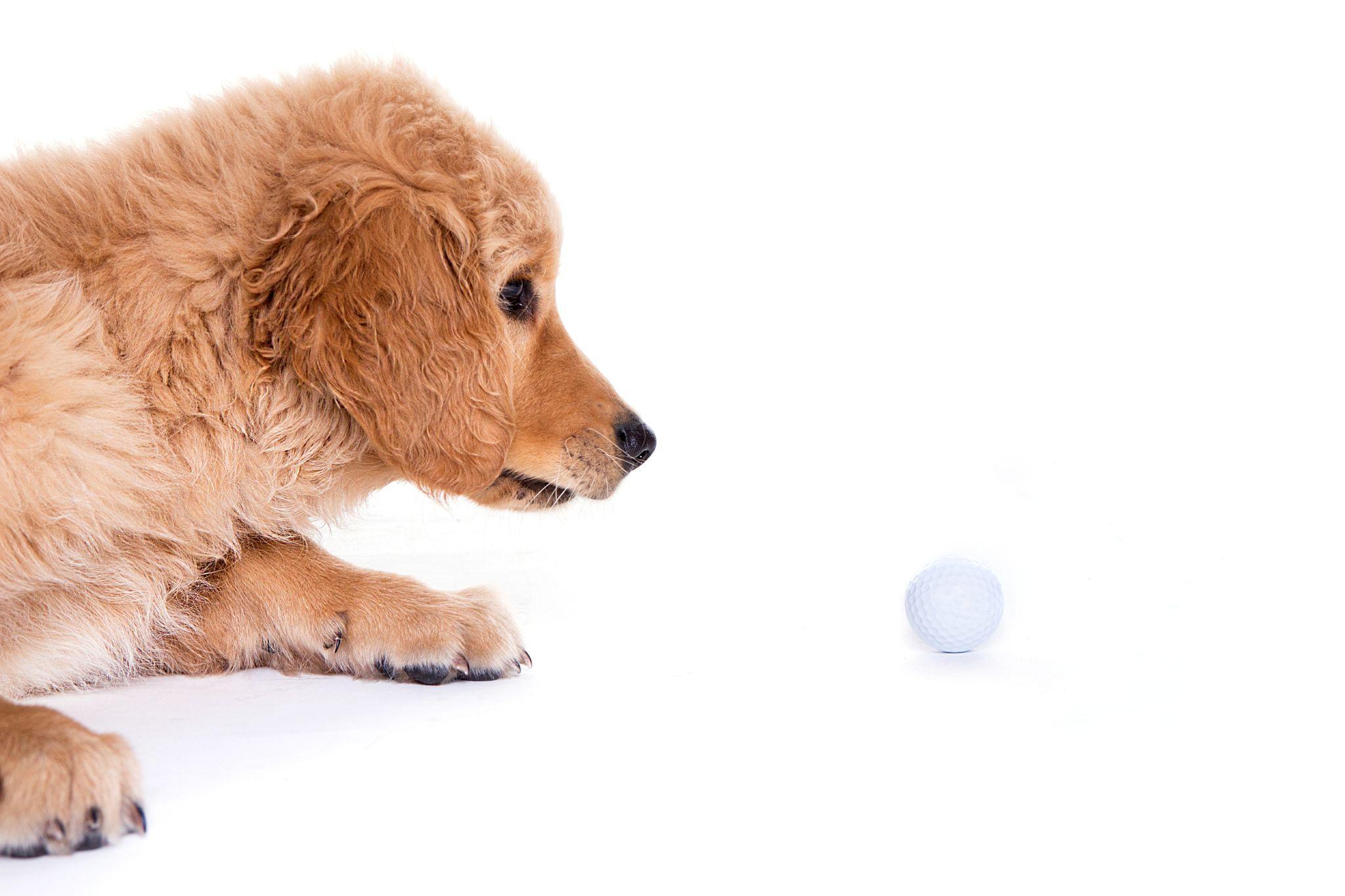 Puppies For Sale Arizona Labrador Retriever Puppies Labrador