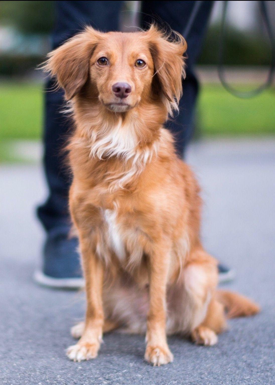 Beauty I Fortheloveofdog I Doglovers I Canine I Dog Photograph Retriever Mix Nova Scotia Duck Tolling Retriever