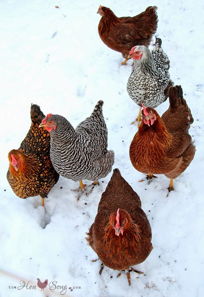 Winter chickens - 20 Cold-Hardy Chicken Breeds - from ...  |Winter Scenes With Chickens