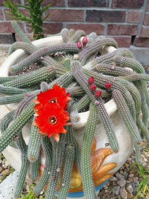 My medusa cactus bloomed!! I absolutely LOVE IT!!