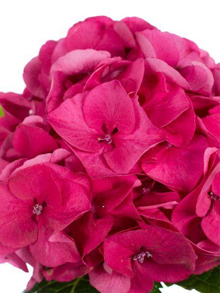 hortensie magical sibilla rot pink als schnittblume saison im mai juni juli augsut und. Black Bedroom Furniture Sets. Home Design Ideas