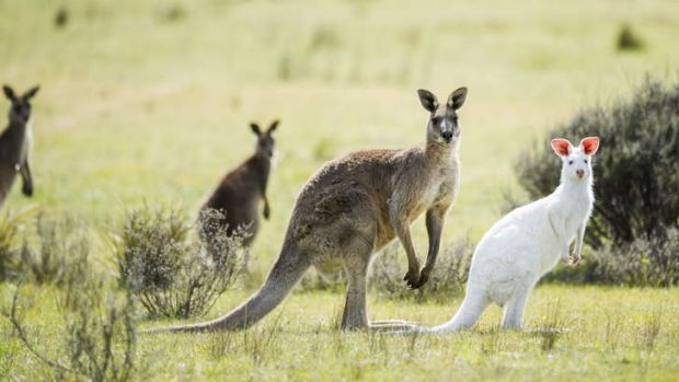 Image result for eating habits of kangaroo