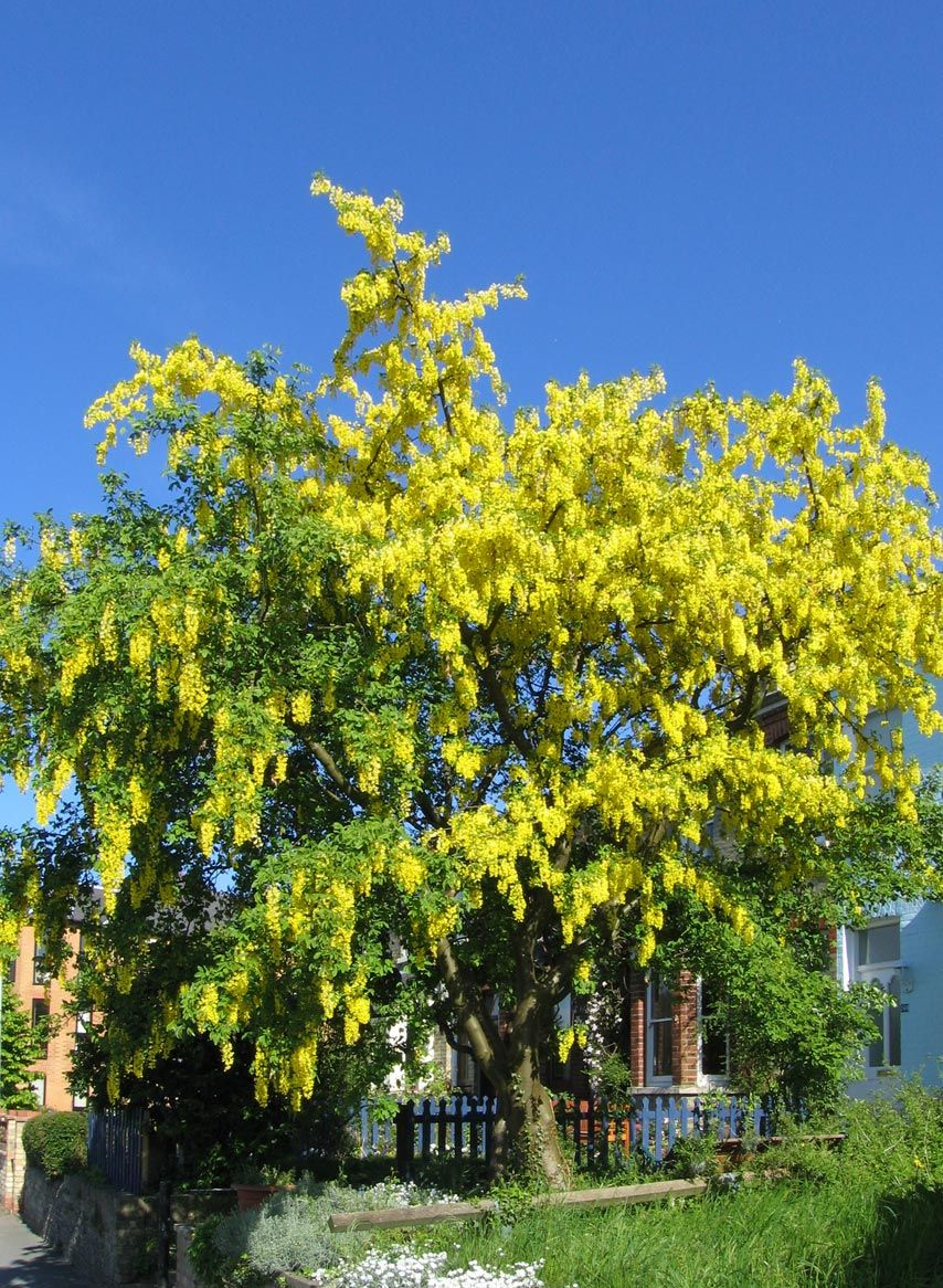 Laburnum, commonly called golden chain, is a genus of two species of ...