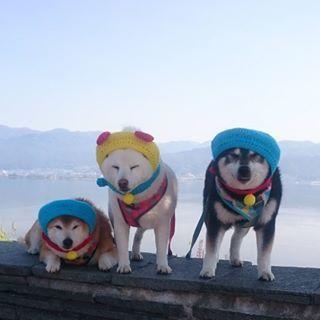 Shiba Inu trio.