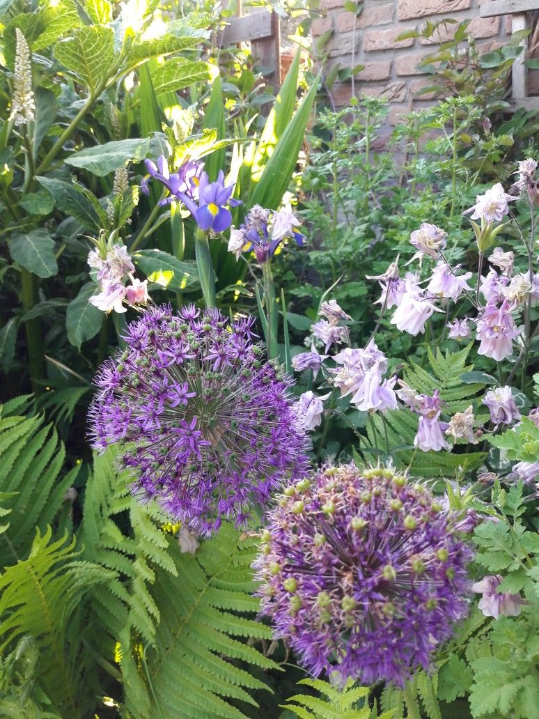 Beautiful Alliums Aquilegias May Garten Pflanzen Inspiration