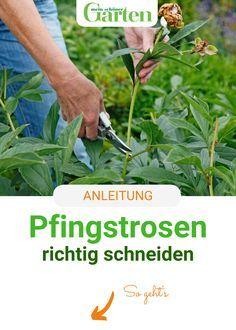 Photo of Schnitt-Tipps für Pfingstrosen
