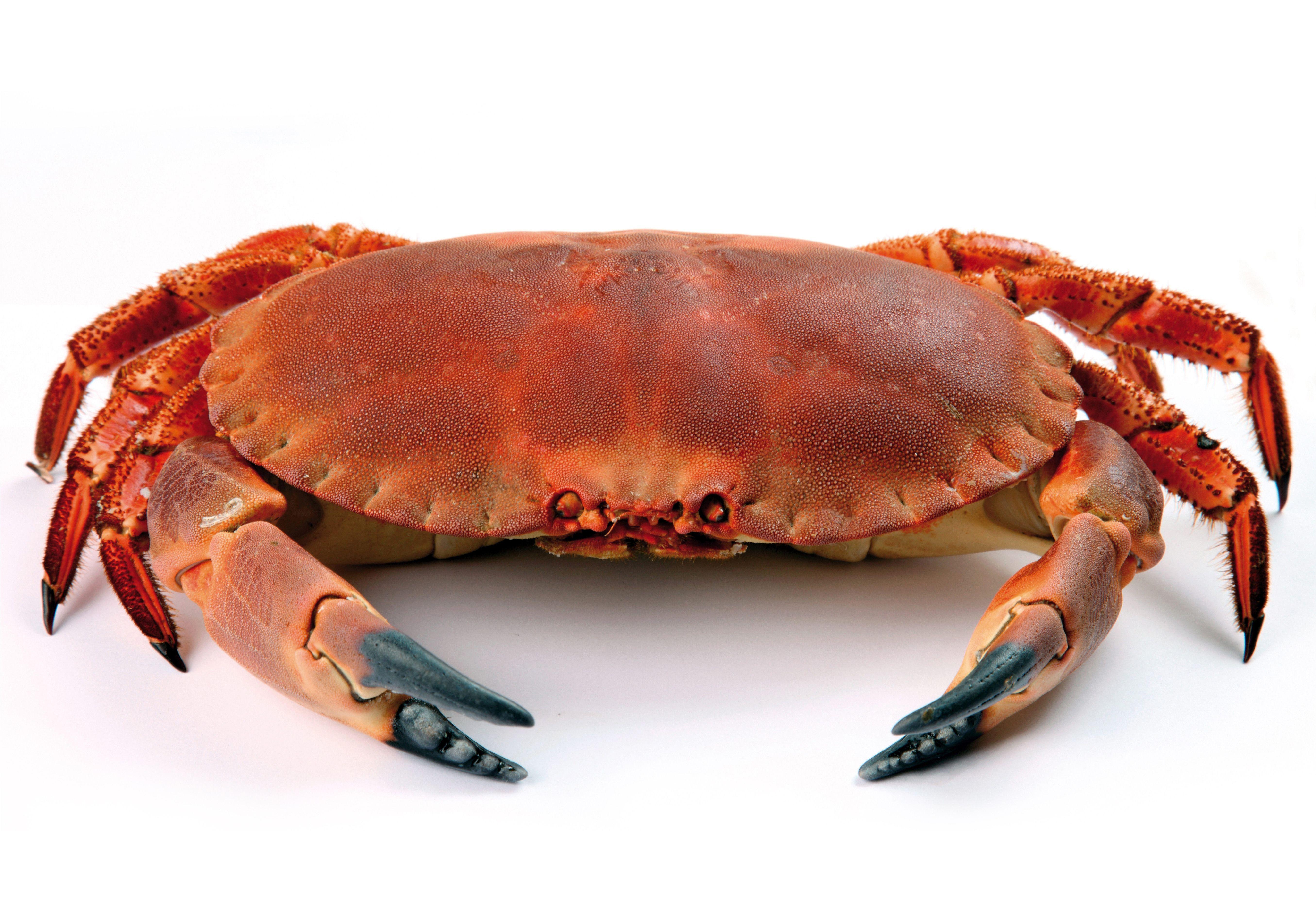 Recheio De Sapateira Crab Animals White Background Hd