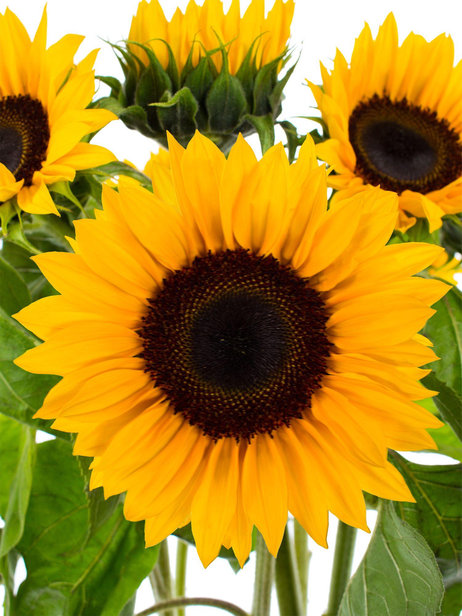 Sonnenblumen Sunrich Orange  Hochzeit  GelbWei