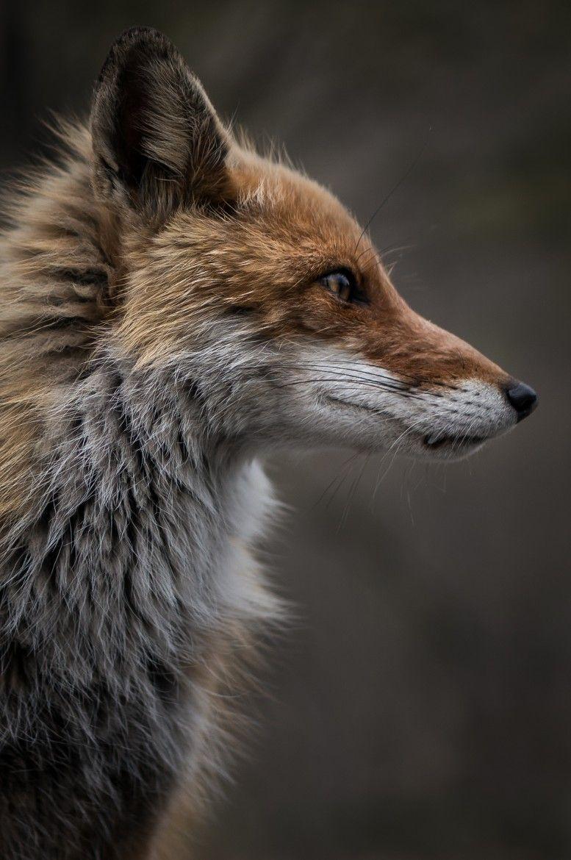 Red Fox by Hiroki Inoue