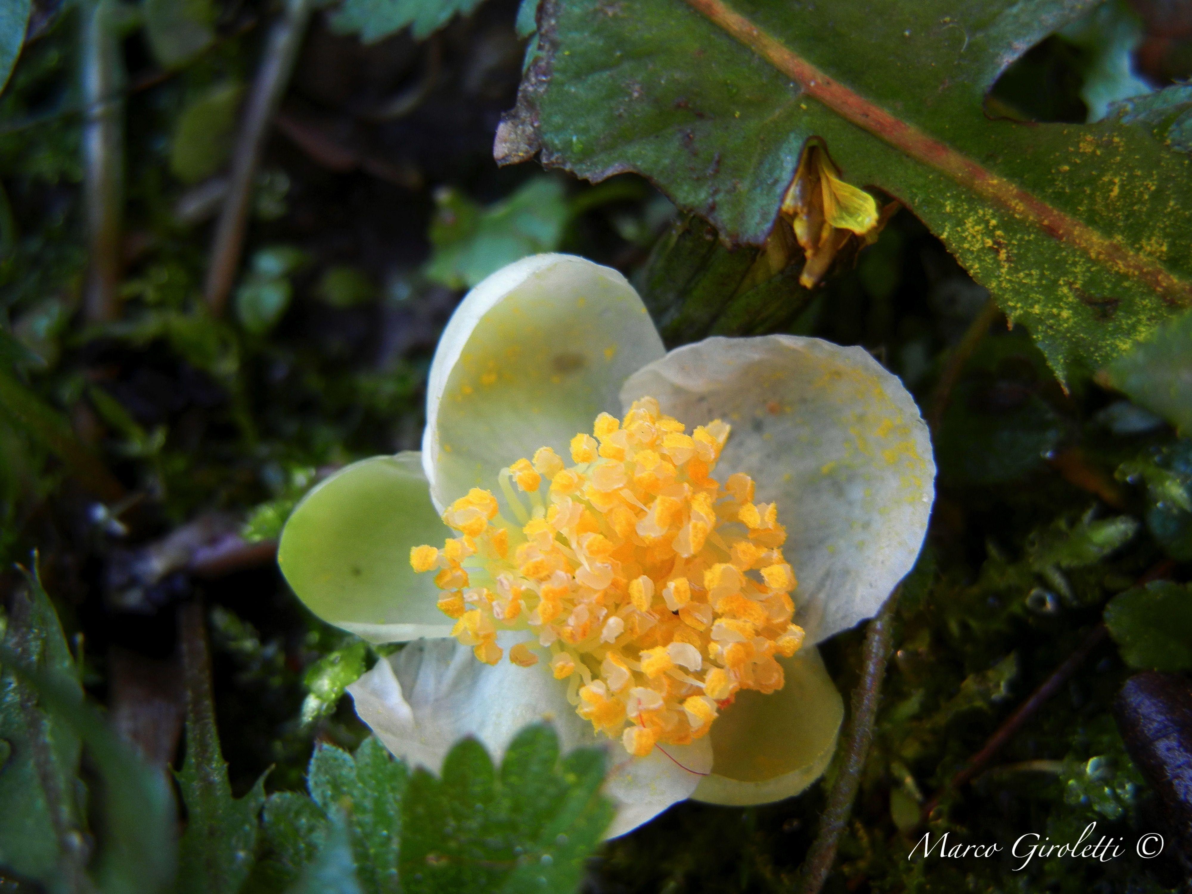 Camellia Sinensis Tea Plant Plants Tea Plant Edible Plants