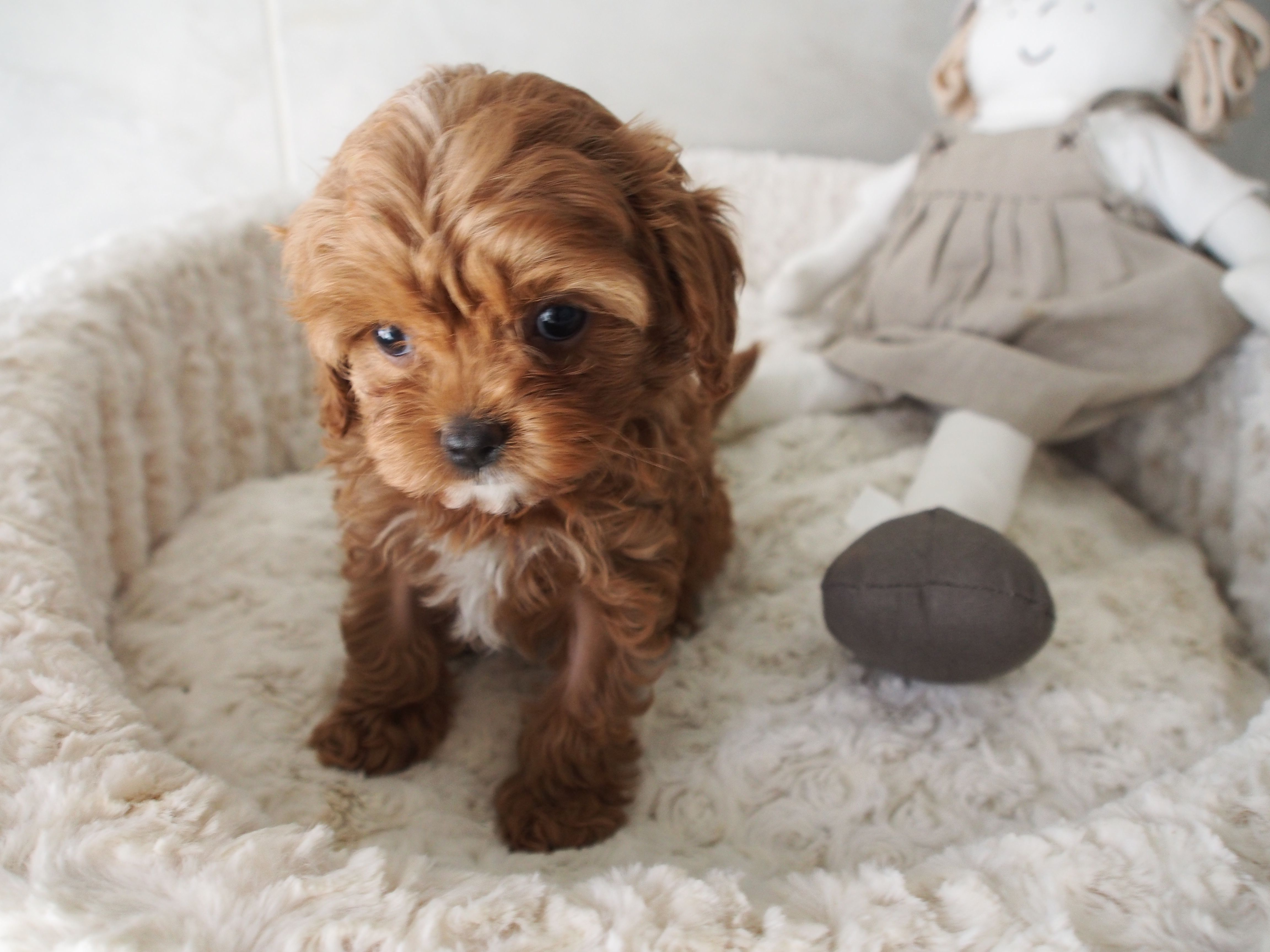 57 best Red & Latte Toy Cavoodle Pocket Puppies images on