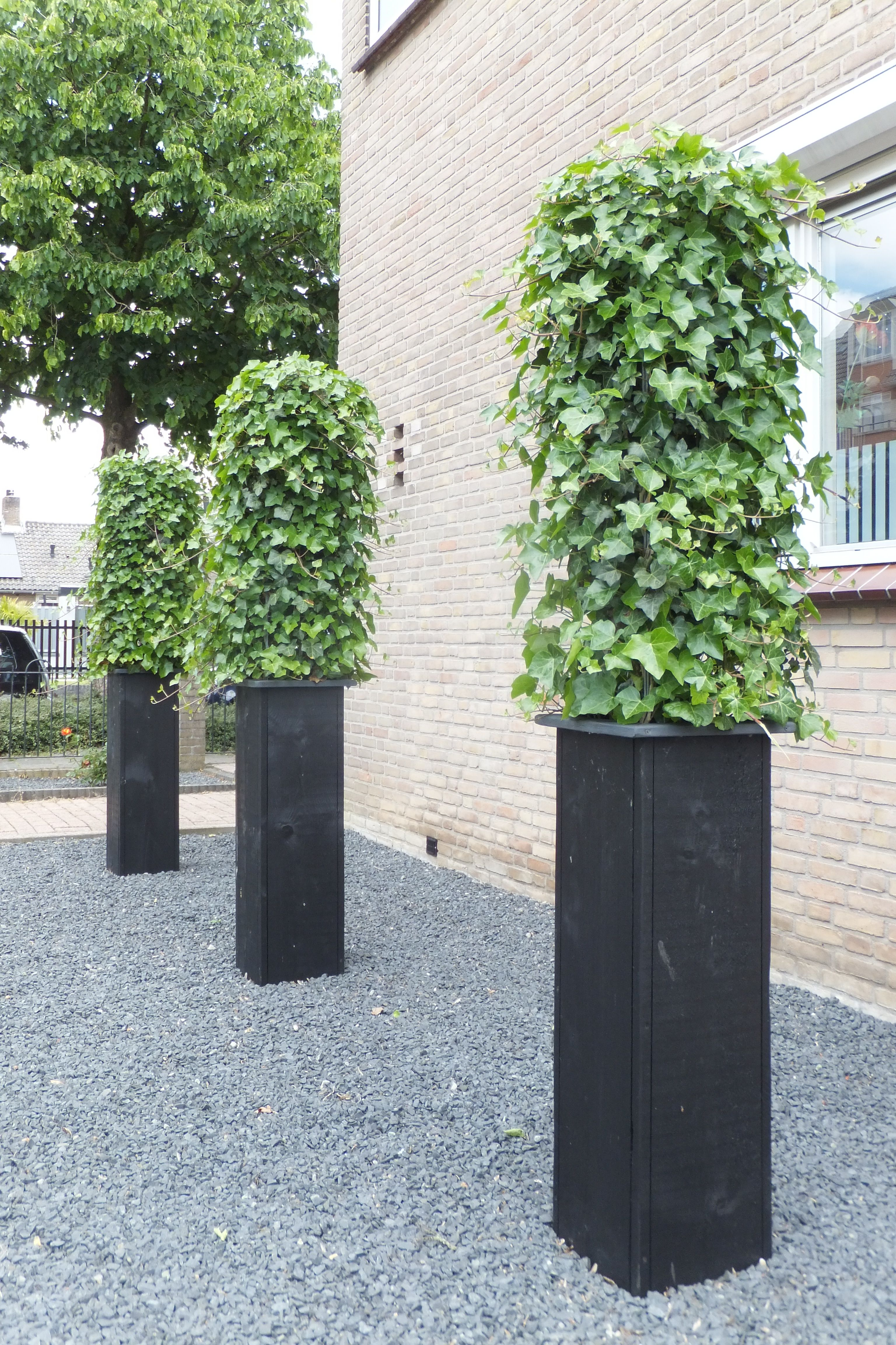ONE YEAR LATER!!!!!!! The evergreen Hedera, one of the
