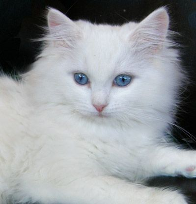 Fantasia A Beautiful Blue Eyed Whte Ragdoll Cat White Ragdoll Cat Pretty Cats Ragdoll Cat