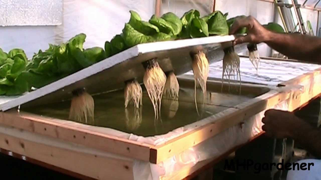 I 39 ve started a second crop of lettuce in the floating raft setup the non aerated side is well - Hydroponic container gardening ...