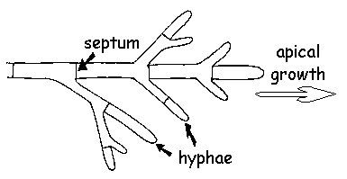 labelled diagram of a branching hypha