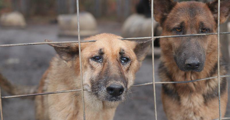 165 German Shepherds Rescued German shepherd rescue