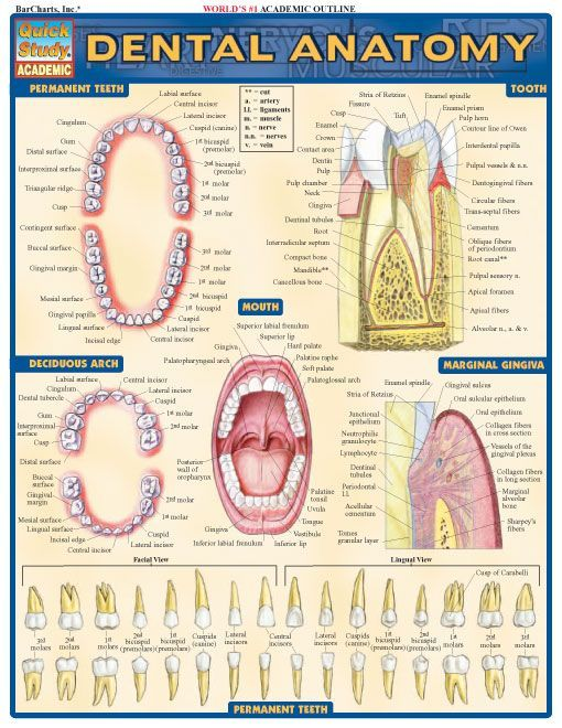 Dental Anatomy Dental Anatomy Pediatric Dentist And Dental