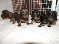Pin By Deb Rowe On Doxies Puppies For Sale Miniature Puppies