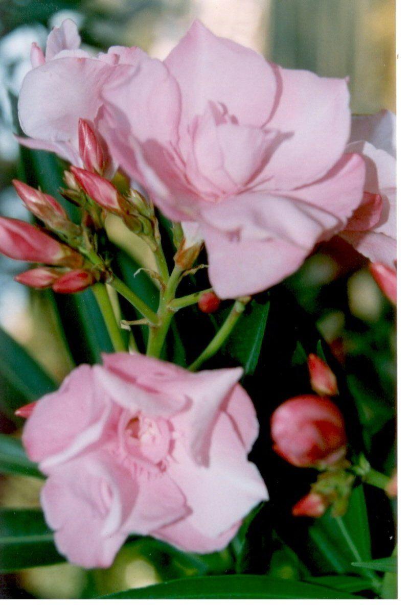 Adelfa Nerium Oleander Ptalos Y Flores Pinterest