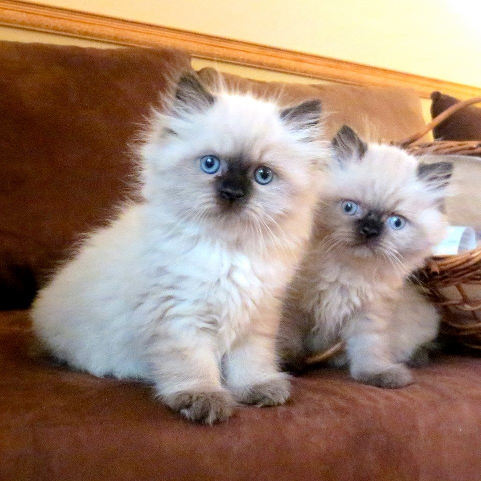 Himalayan Kittens Seal Point Male And Female Morning Light Farm Himalayan Kitten Himalayan Kittens For Sale Kittens