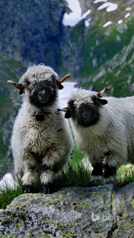 cute sheep (With images)   Cute sheep, Sheep and lamb, Sheep