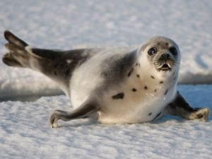 """The EU failed to make a prima facie case that the seal ban was justified under WTO rules """"necessary to protect … animal … life or health."""" Yet, while the WTO said the ban undermines international trade obligations, it said it was justified under """"public moral concerns"""" over animal welfare. Canada is set to appeal that decision this month, for all the good it is likely to do. It is apparent that the facts don't matter.  // National Post, January 7, 2014 #sealhunt"""