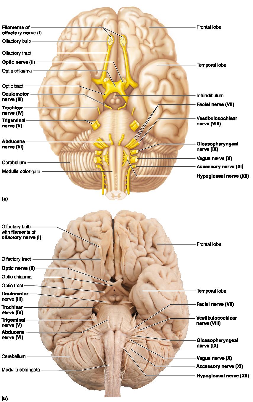 Cranial Nerves Brain Anatomy Nerve Anatomy Medical Anatomy