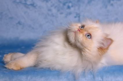 Someone tell Billy that I want a Himalayan cat!