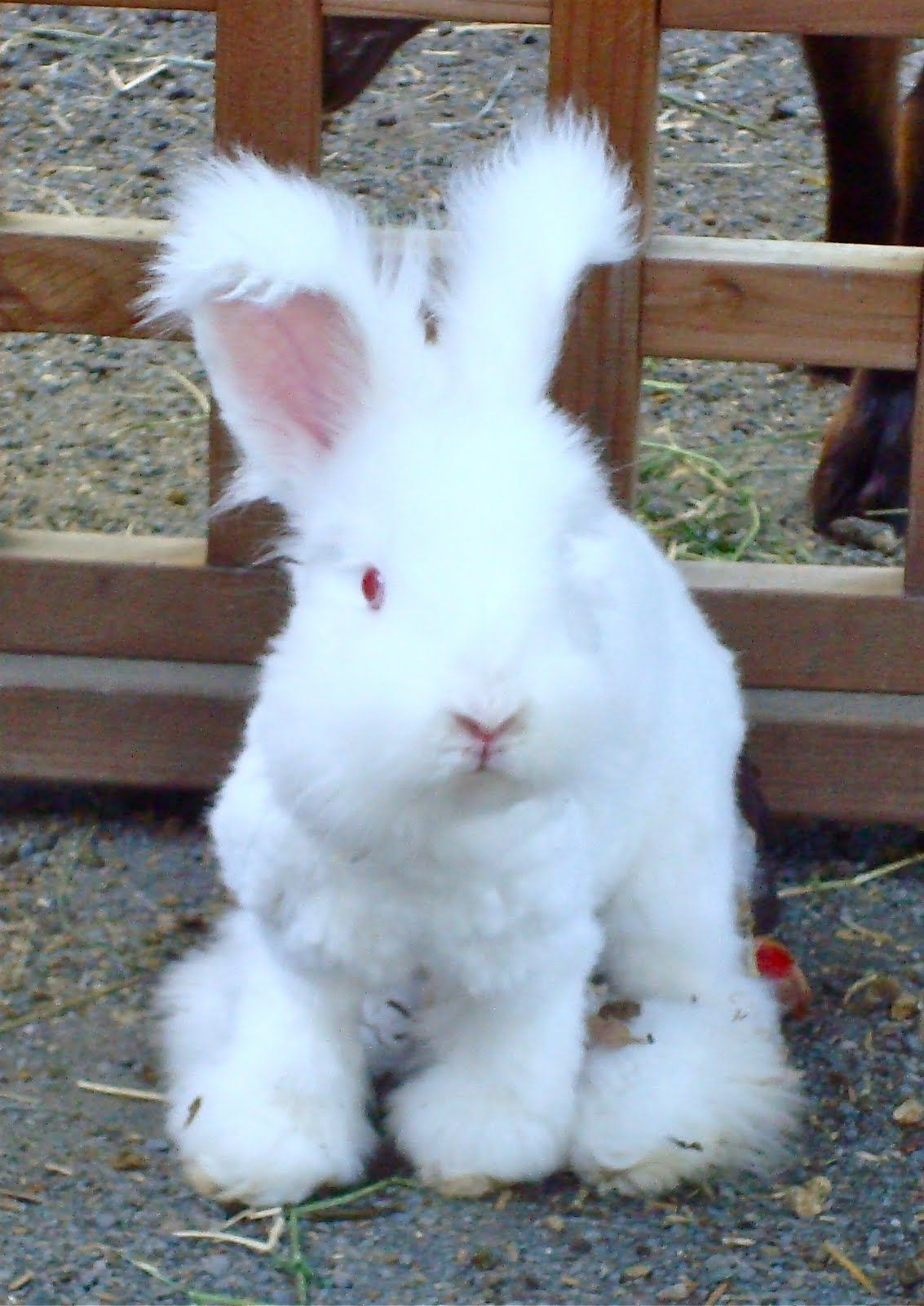 Angora Rabbit. fluffy. I want one so i can shave him in