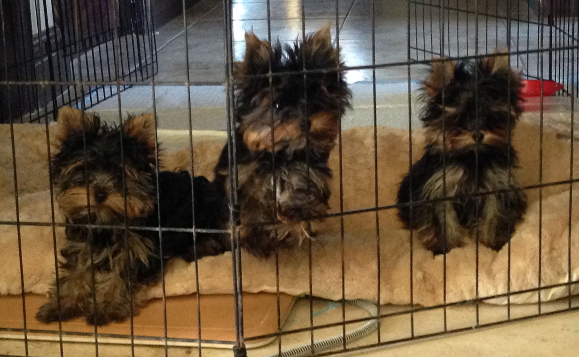 Teacup dogs for sale in texas