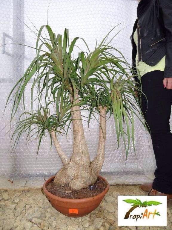 Pata de elefante bonsai pata de elefante planta pinterest ponytail and gardens - Plantas para bonsai ...