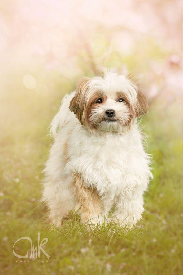 Power Puff Shih Tzu Mix Dog Sping Powderpuff Shihtzu Lovely Chinese Crested Chinese Crested Powder Puff Shih Tzu
