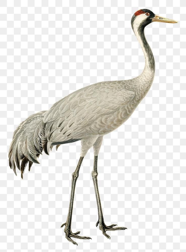 Png Sticker Common Crane Bird Hand Drawn Free Image By Rawpixel Com Paeng Bird How To Draw Hands Crane Bird