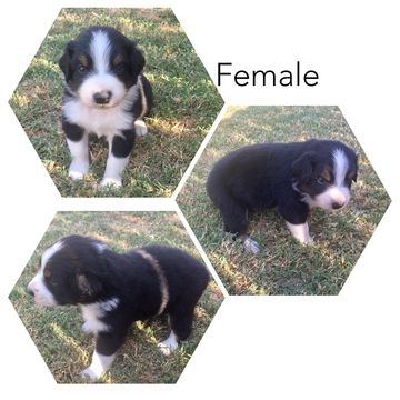 Litter Of 3 Australian Shepherd Puppies For Sale In Bakersfield Ca Adn 42738 On Puppyfinder Puppies For Sale Australian Shepherd Puppies Australian Shepherd