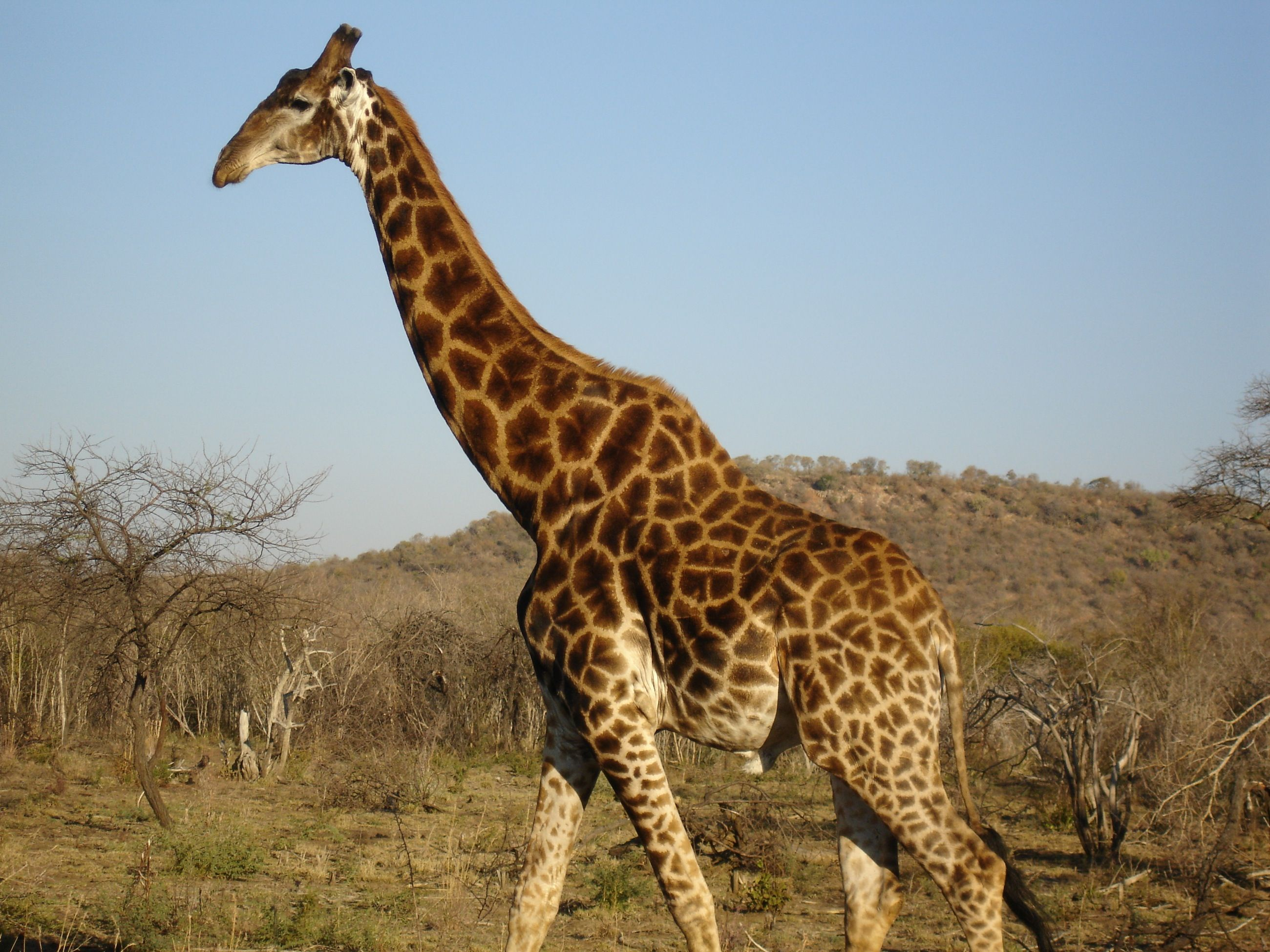 south african giraffe - Google Search