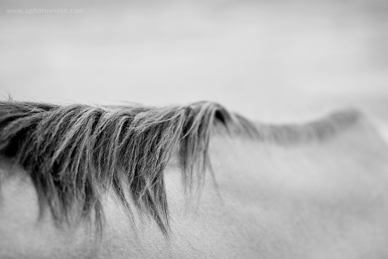 Black and white photo of a horse's back and mane.