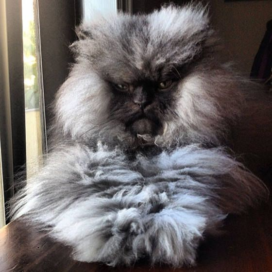 colonel meow longest fur on a cat guinness world records - Biggest Cat In The World Guinness 2012