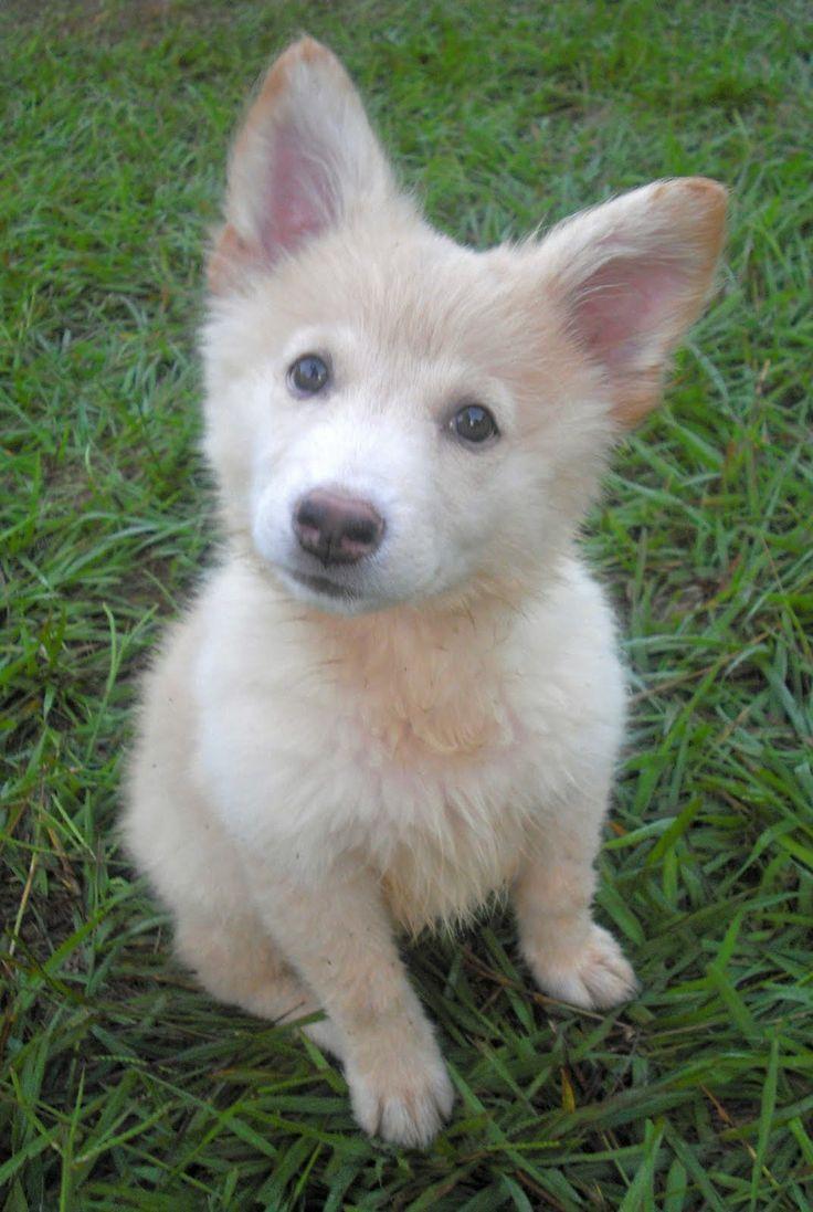 German Shepherd Husky Mix Puppies White German shepherd