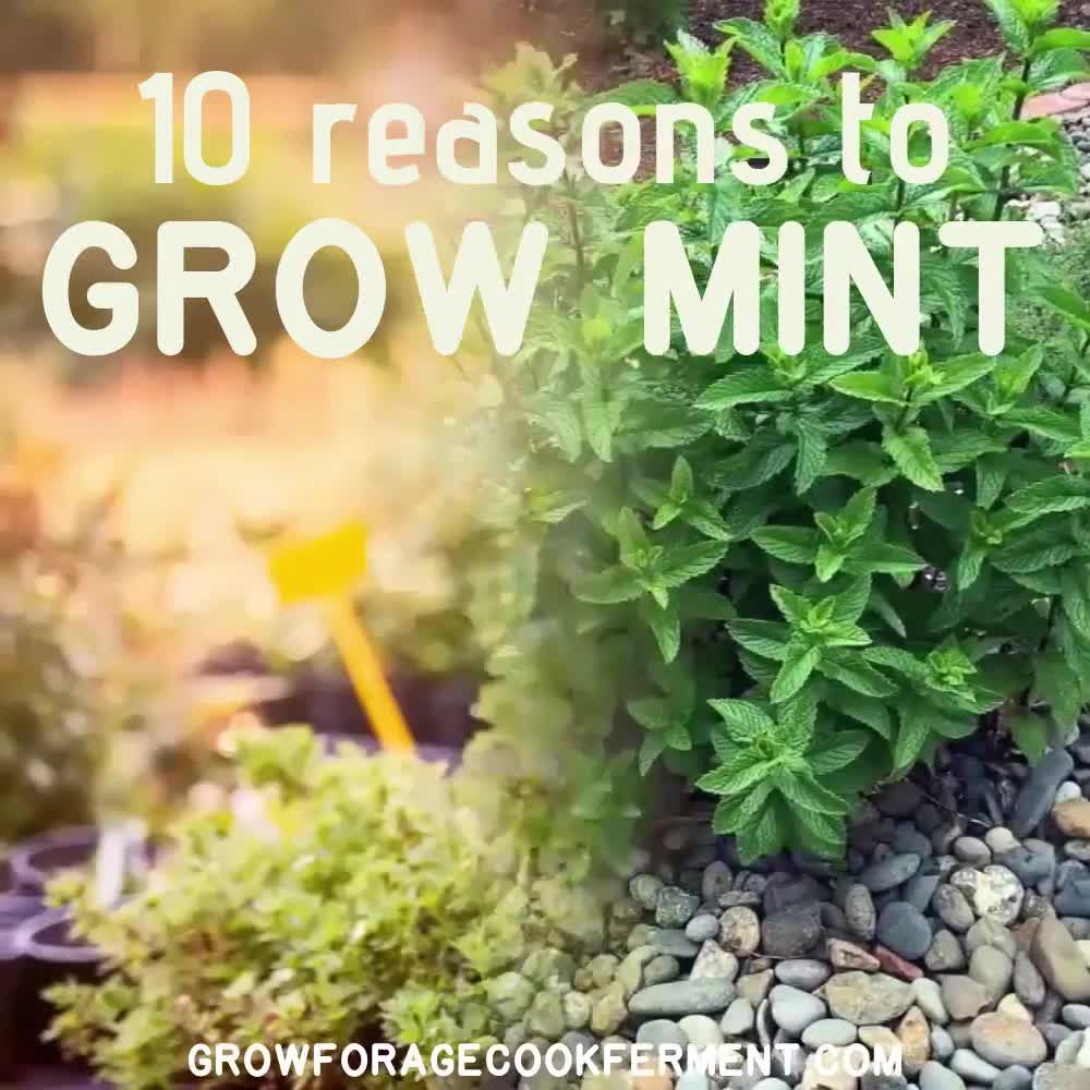Mint has a bad reputation for taking over the garden, for good reason. But, there are many reasons to grow mint in your backyard without fear!
